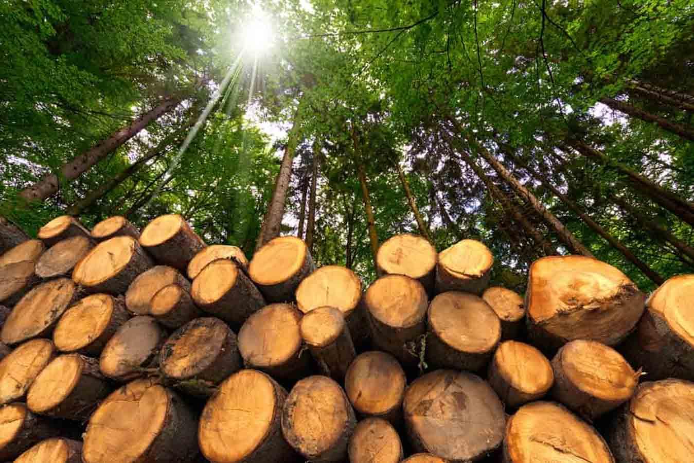 Cây gỗ thông là gì